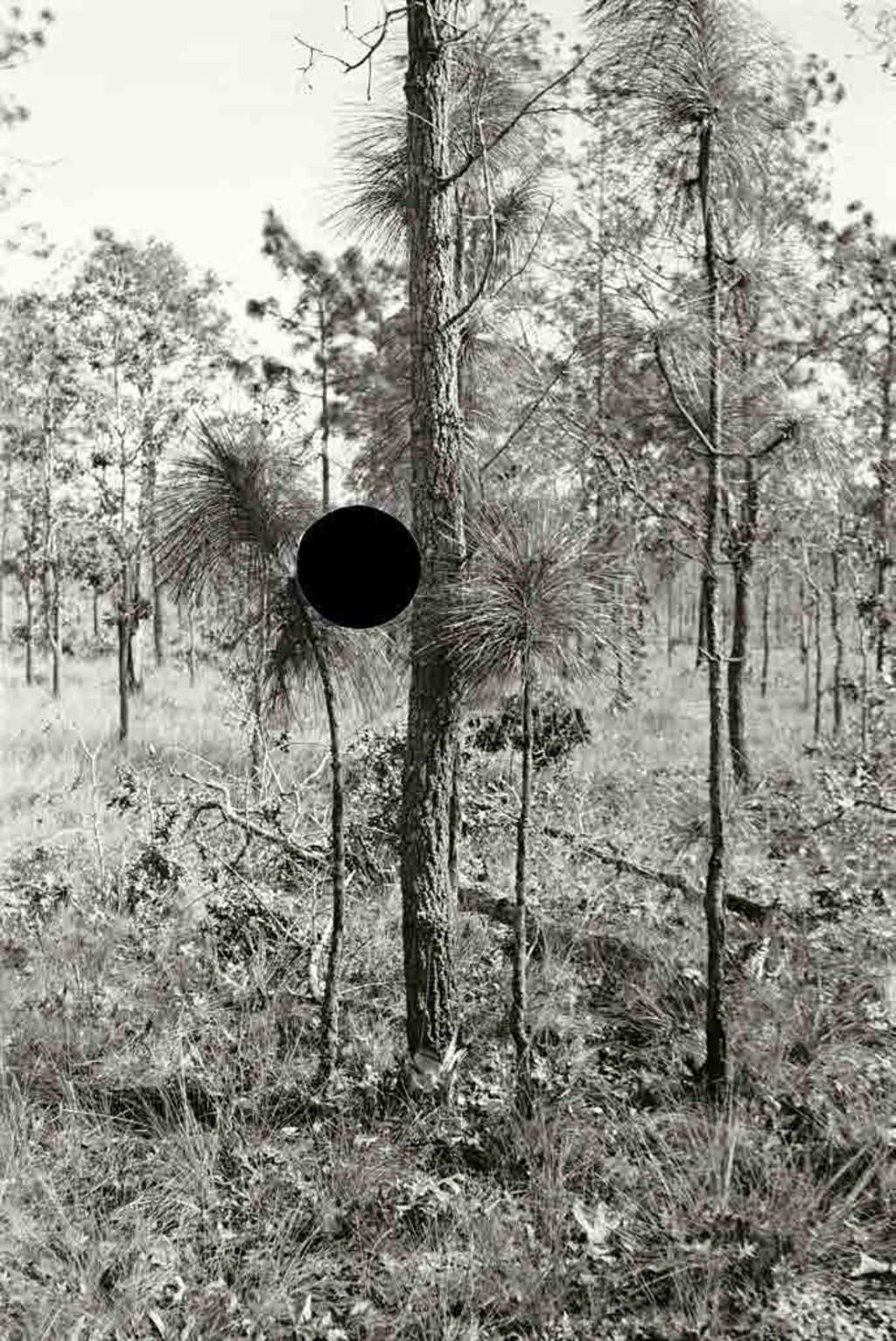 Blackjack oak, Withlacoochee land use project, Florida. 1937. Arthur Ruthstein.