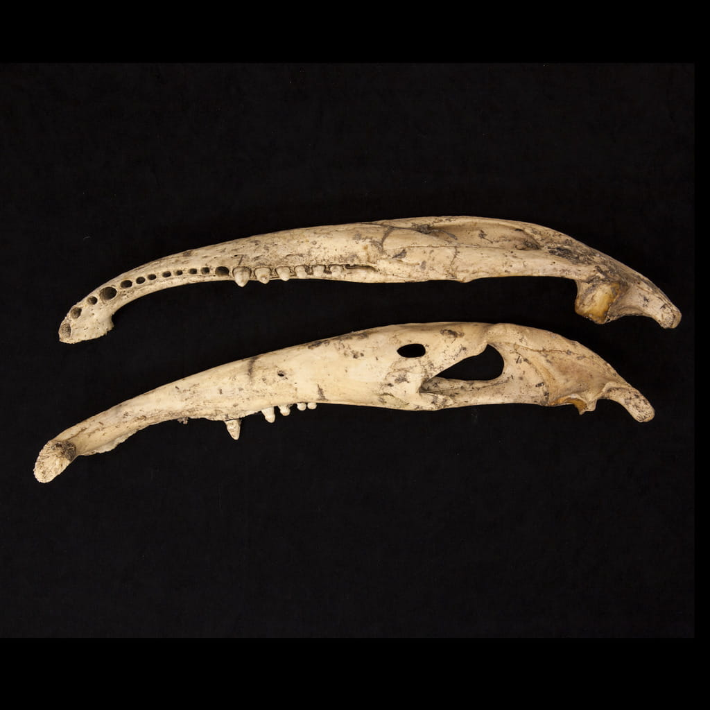 Everglades National Park, Bone specimens, 2012