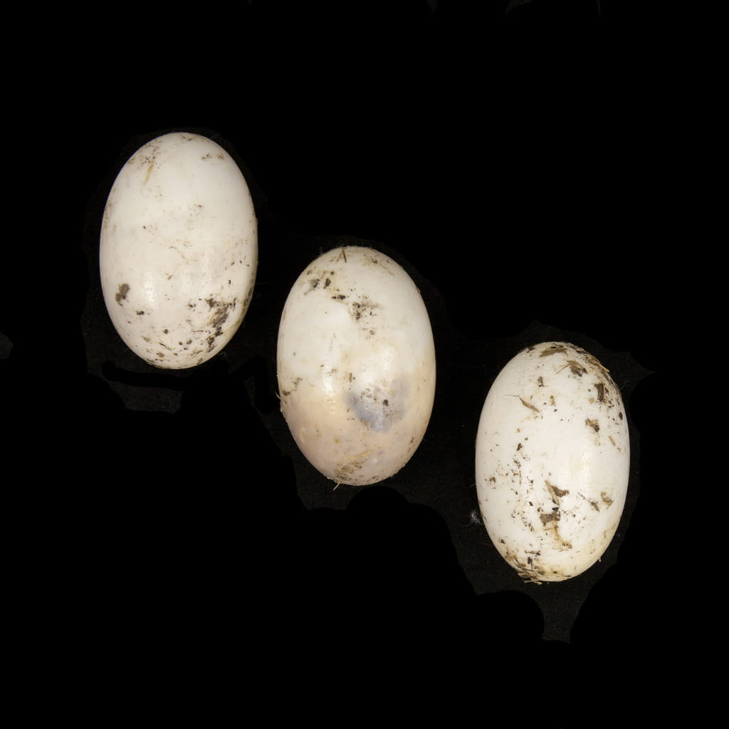 Everglades National Park, Egg specimens, 2012