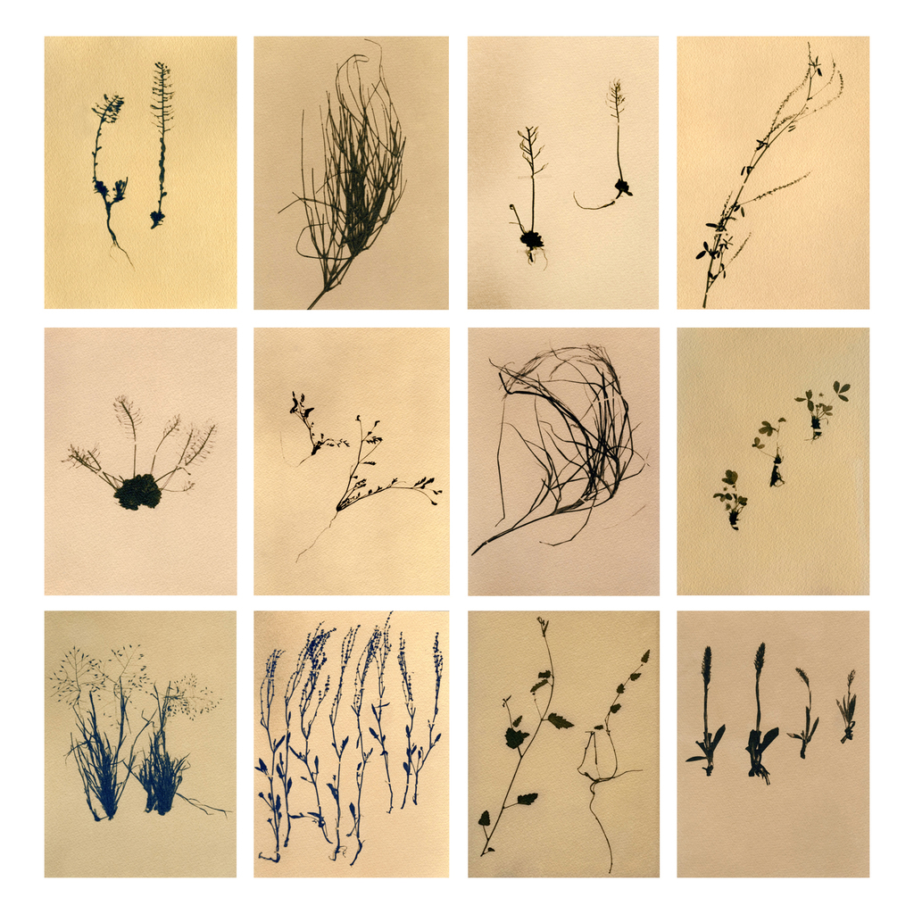 Grand Canyon National Park, Plant specimens, toned cyanotype, 2010