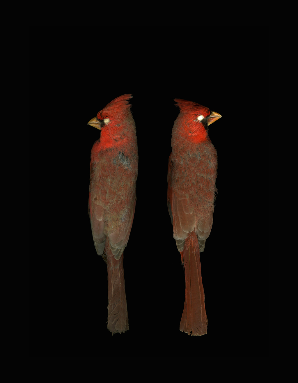 Cardinalis cardinalis, Northern cardinal, North Carolina Museum of Natural Sciences, 2007