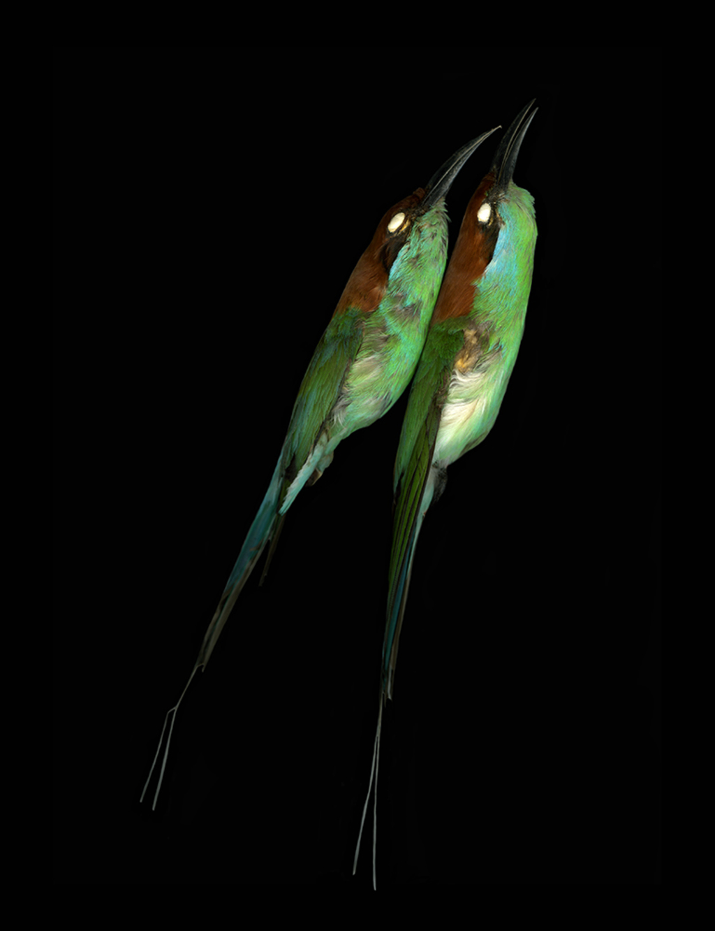 Merops viridis, Blue-throated bee-eater, North Carolina Museum of Natural Sciences, 2007