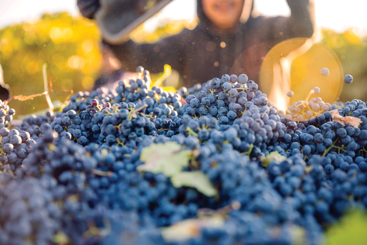 Harvested cabernet sauvignon grapes on the gondola with a worker in the background