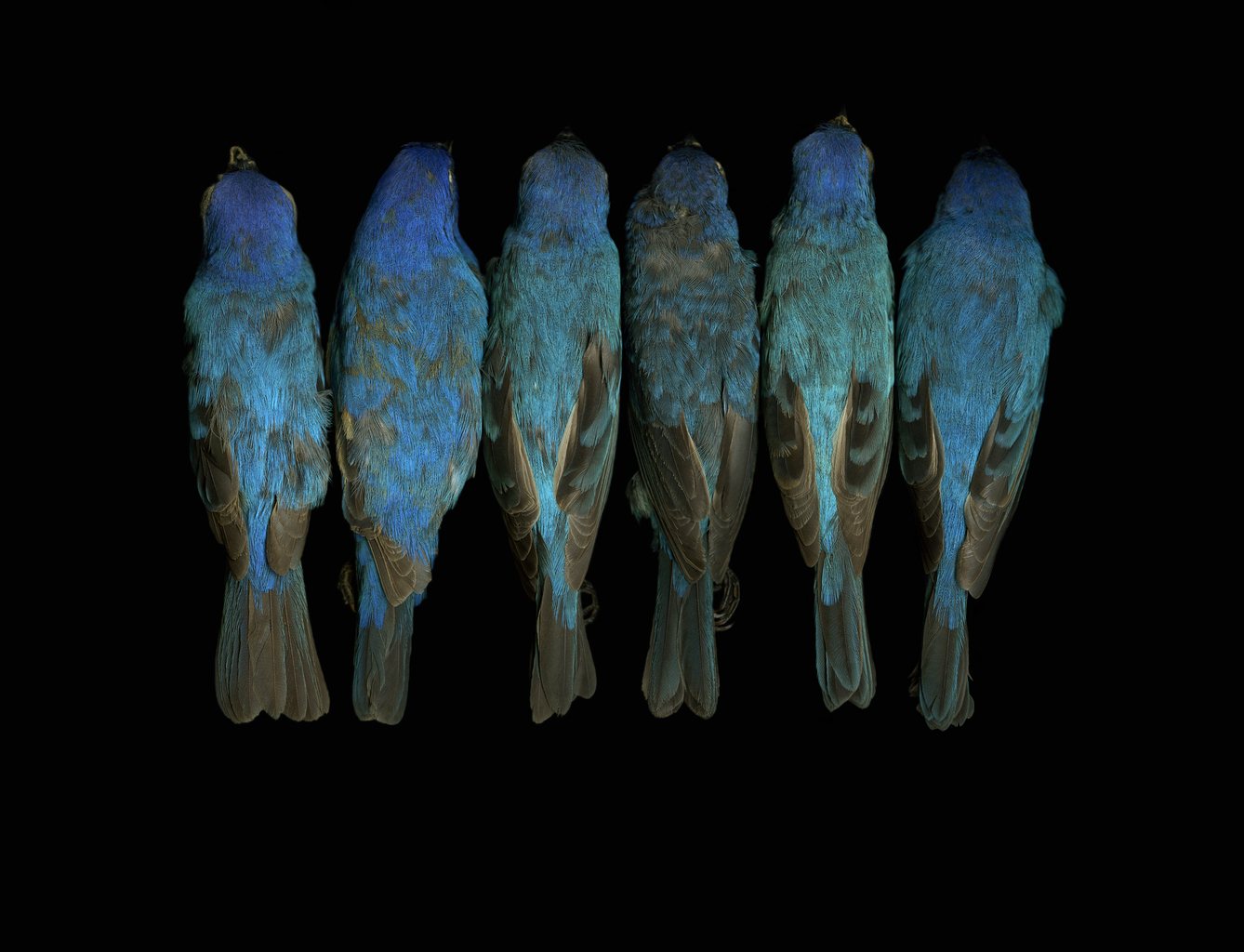 Passerina cyanea, Indigo bunting, North Carolina Museum of Natural Sciences, 2007