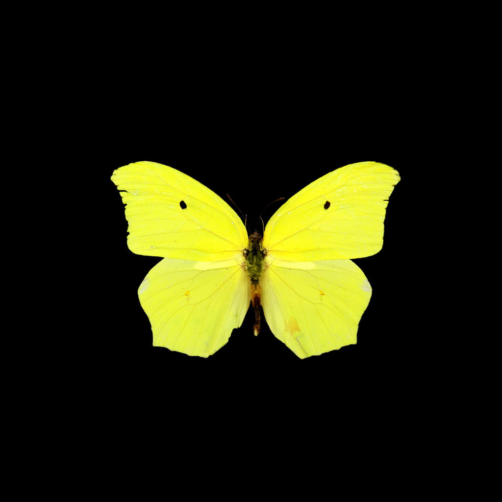 Gonepteryx rhamni, Common Brimstone, North Carolina State Insect Museum, 2012