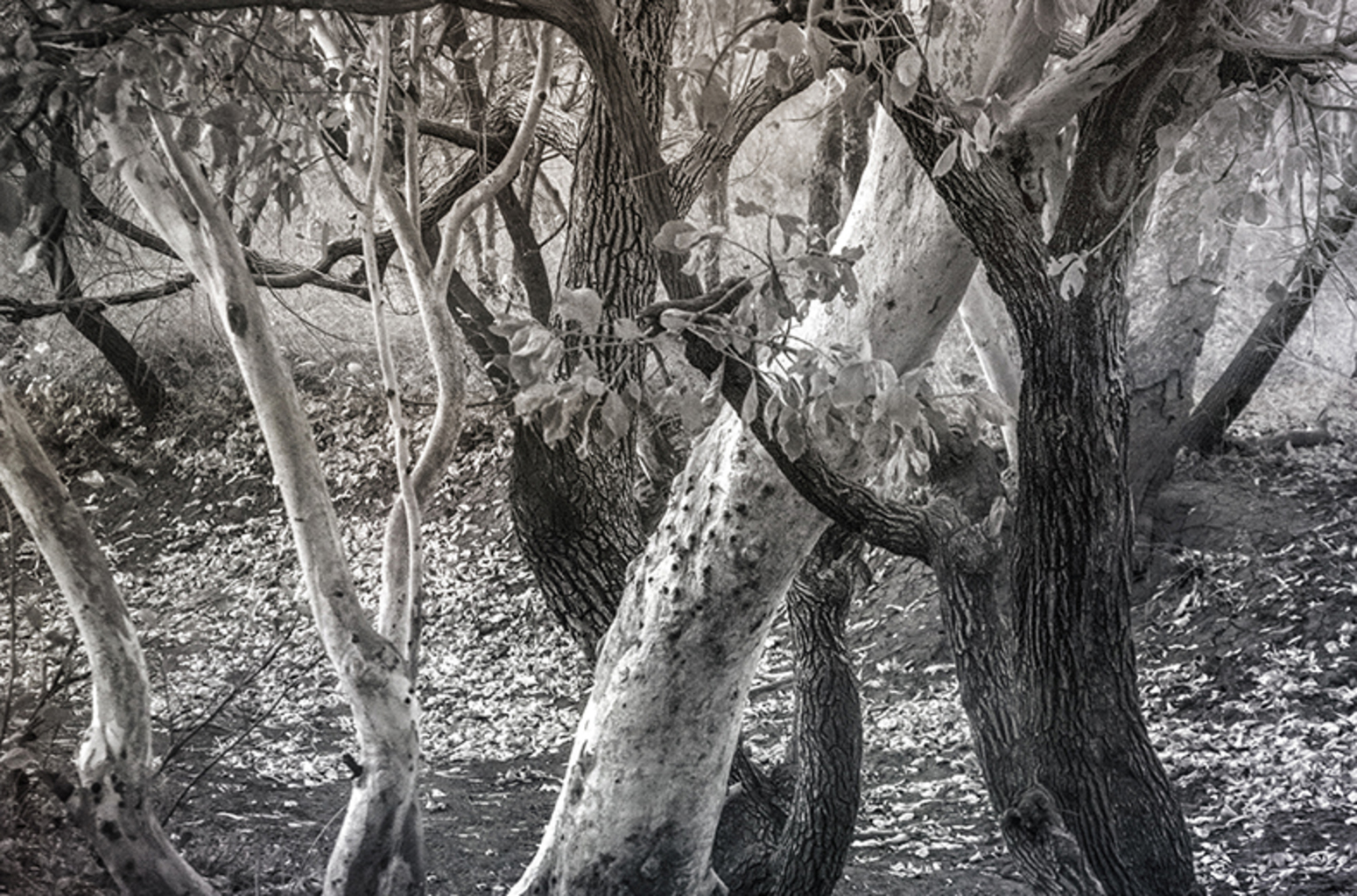 Black Trees, White Trees (Tanami Desert NT, June 2015)